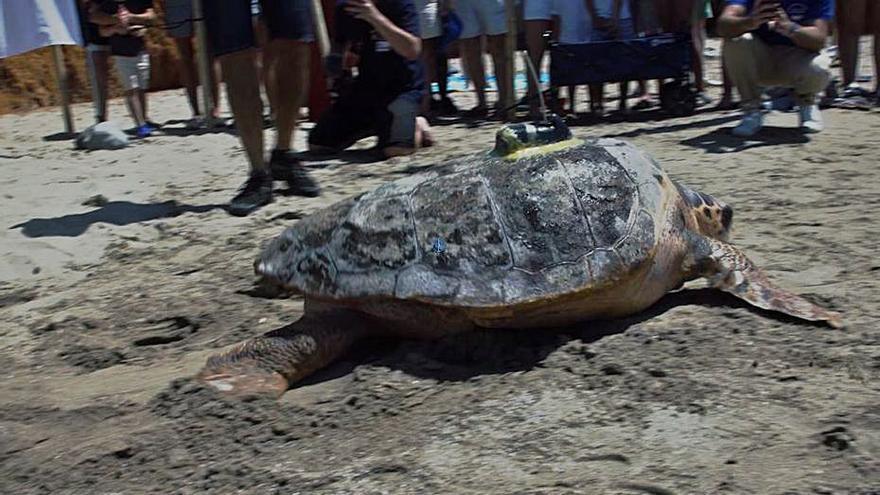 Una tortuga liberada por el Oceanogràfic vuelve un año después
