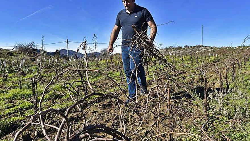Tejeda mejora sus paisajes con la recuperación de viñedos