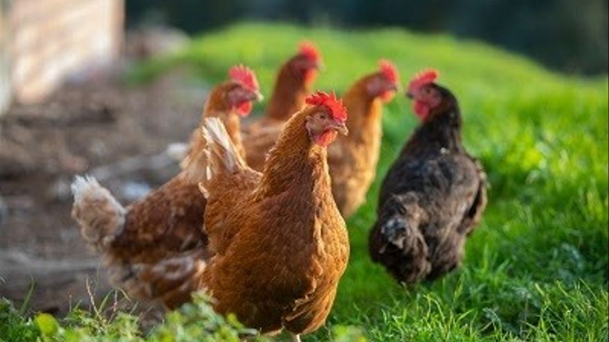 Mueren 4.000 gallinas por un incendio en una granja de Pontevedra