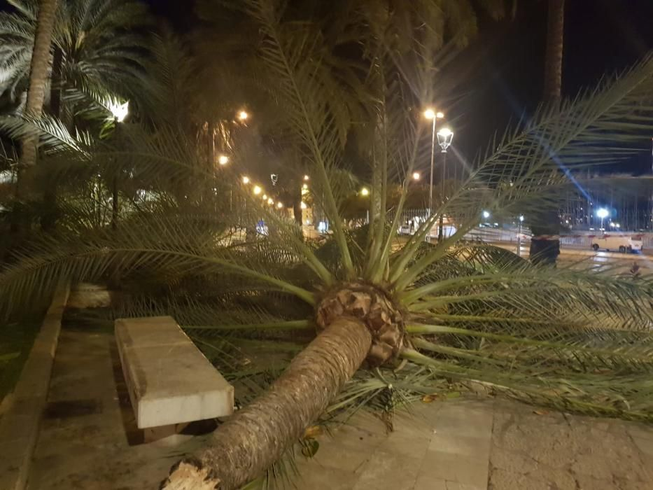 Sturm reißt sieben Palmen an Palmas Promenade um