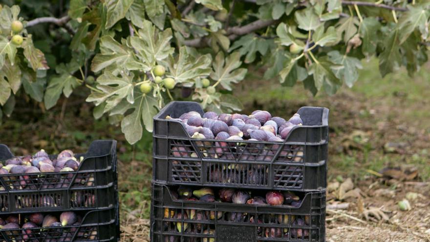 Mercadona compra 261 toneladas de higos a productores alicantinos