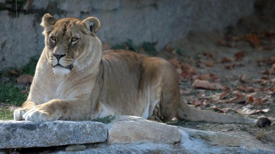 Foto de archivo de la leona de VigoZoo. / FDV