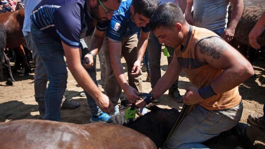 Rapa das Bestas aprovecha el último curro para colocar 12 GPS a yeguas de las distintas manadas