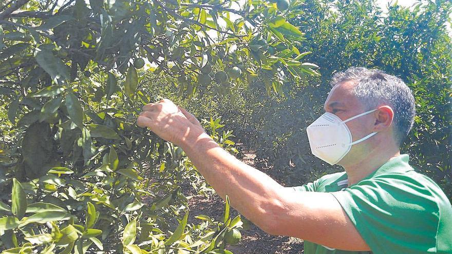 La Conselleria de Agricultura anuncia una nueva esperanza contra el 'cotonet' en las naranjas de Castellón