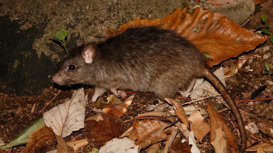 La rata negra perjudica a 43 plantas canarias