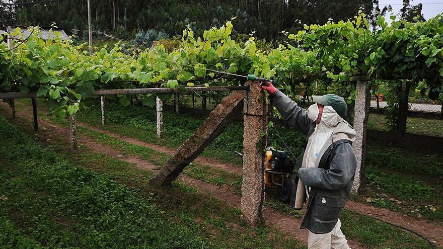 """O Areeiro recomienda """"un seguimiento permanente"""" del viñedo para evitar el avance del mildiu"""