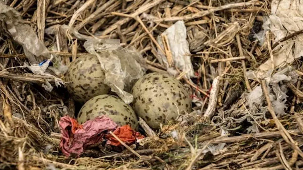 Plásticos en nidos de aves marinas.