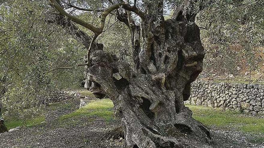 El Mejor Olivo Monumental de España está en Mallorca