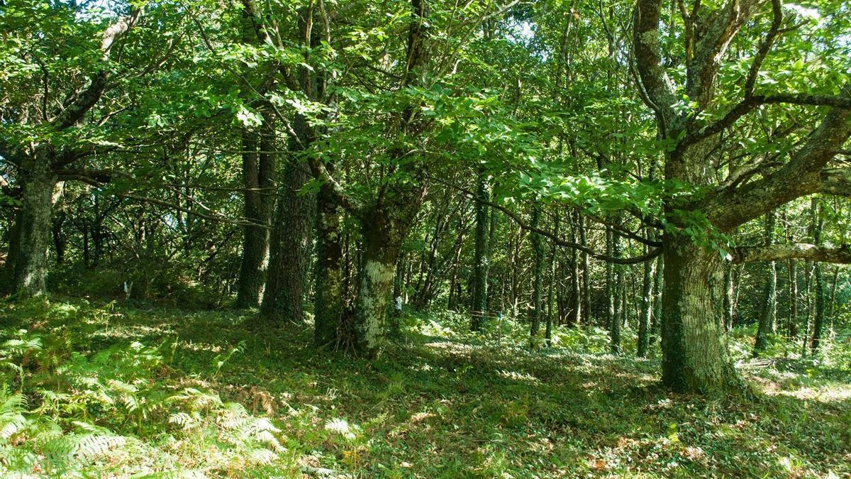 Panorámica de una de las áreas del bosque de Casas Vellas.