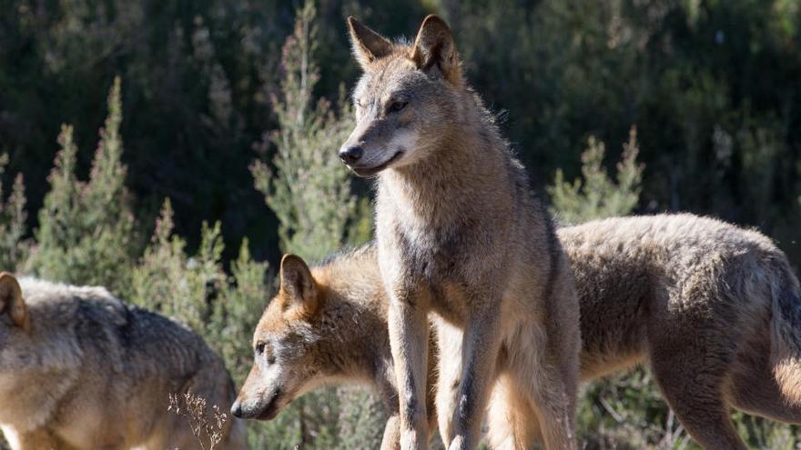 Varias comunidades acudirán a los tribunales por la prohibición de la caza del lobo