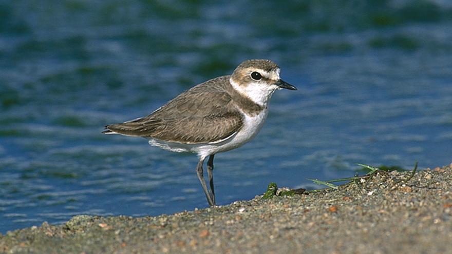 Gobierno y SEO/Birdlife impulsan la conservación del chorlitejo en Canarias