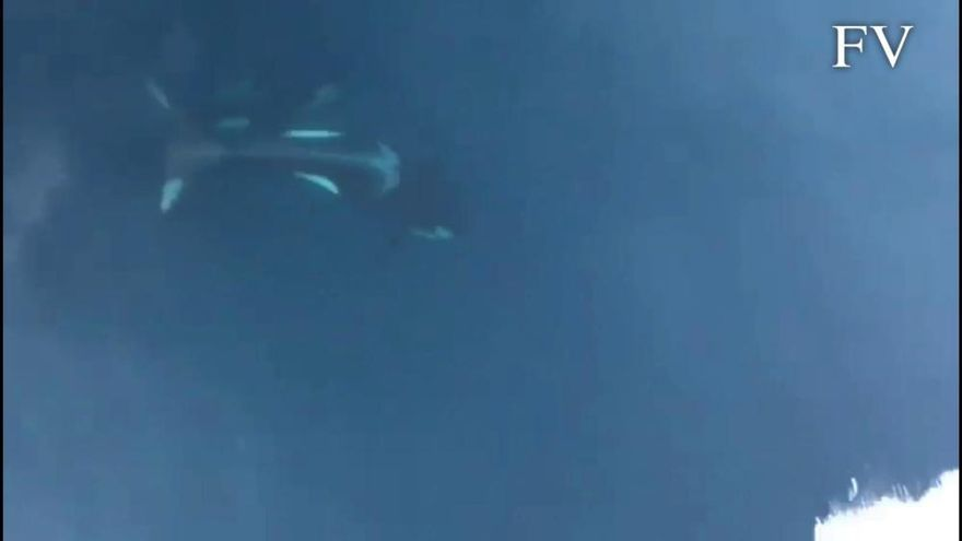 Orcas en la ría de Muros-Noia
