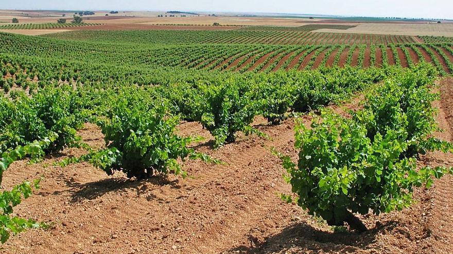 Así es la última convocatoria de ayudas a la reestructuración y reconversión de viñedos en Zamora