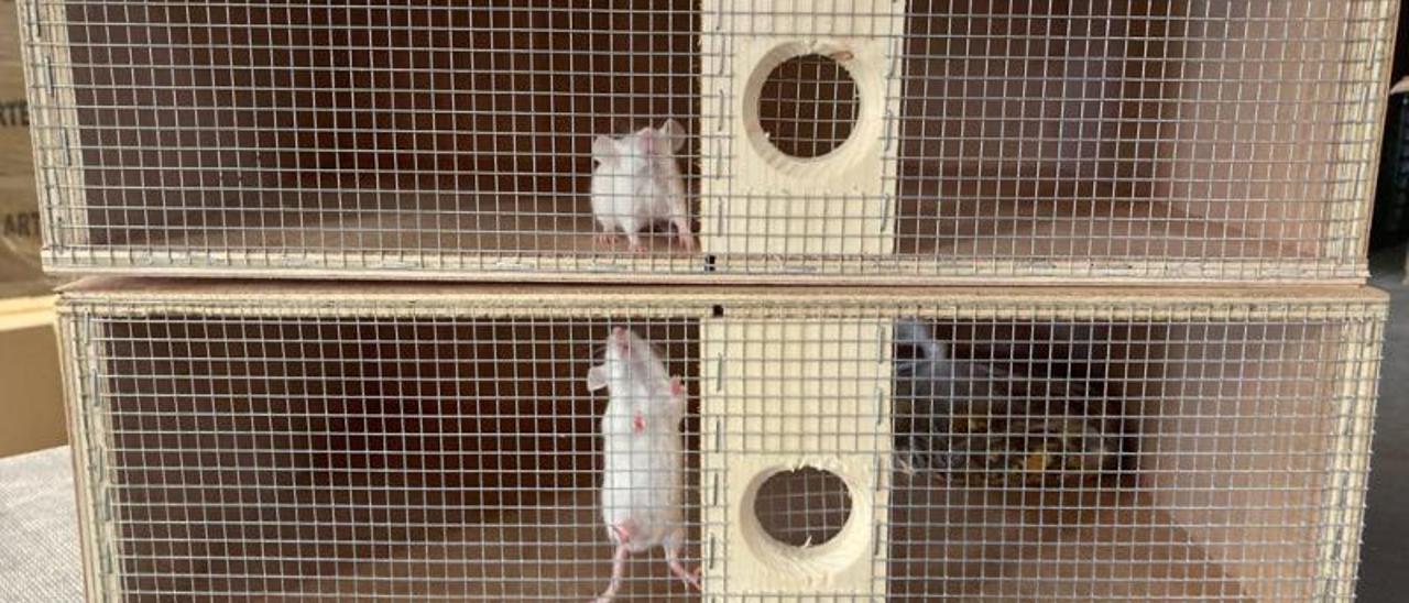 Dos ratones en dos trampas para cazar serpientes en el centro de la isla.