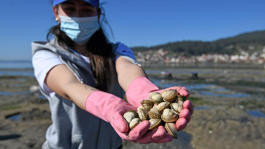 La llegada a Galicia de berberecho portugués contaminado genera tres alarmas sanitarias internacionales