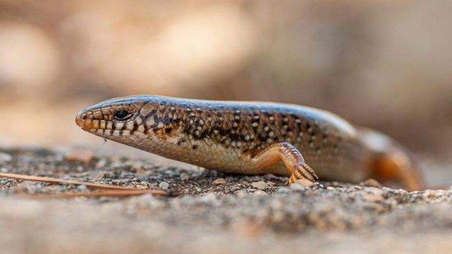 La lagartija que entró como polizón de los árabes (o los fenicios)