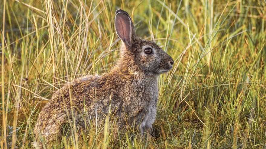 Más de 80 municipios de la provincia de Alicante tienen sobrepoblación de conejos