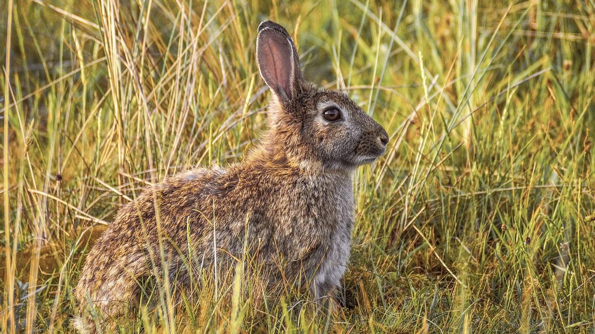 Cada vez más localidades de la provincia de Alicante se ven afectadas por el conejo de monte.