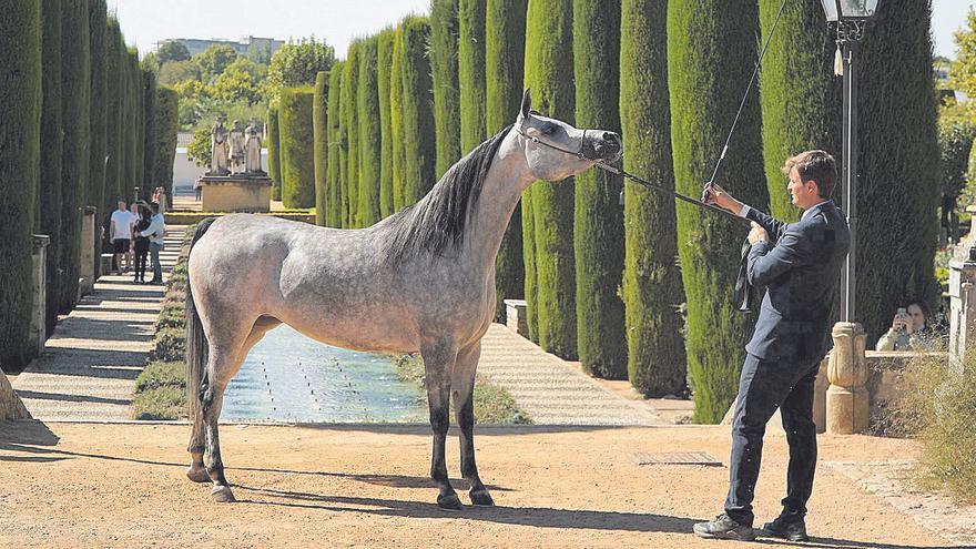 Córdoba proclama a los mejores caballos árabes de España