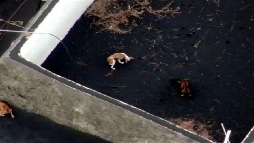 Los perros rodeados de la lava llevaban días fuera de allí, alguien los sacó