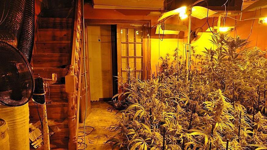 Condemnat a dotze mesos  de presó per tenir 260 plantes de cànnabis a Avià