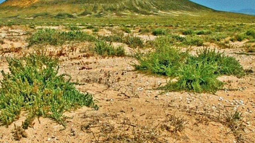 El CSIC advierte de la extinción de la avutarda si se extrae jable de Famara