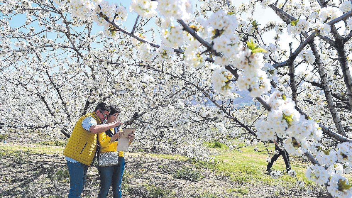 Turistas rodeados de cerezos en  plena floración en el año 2018.