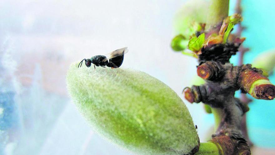 Agricultura logra limitar y reducir la plaga de la avispilla del almendro