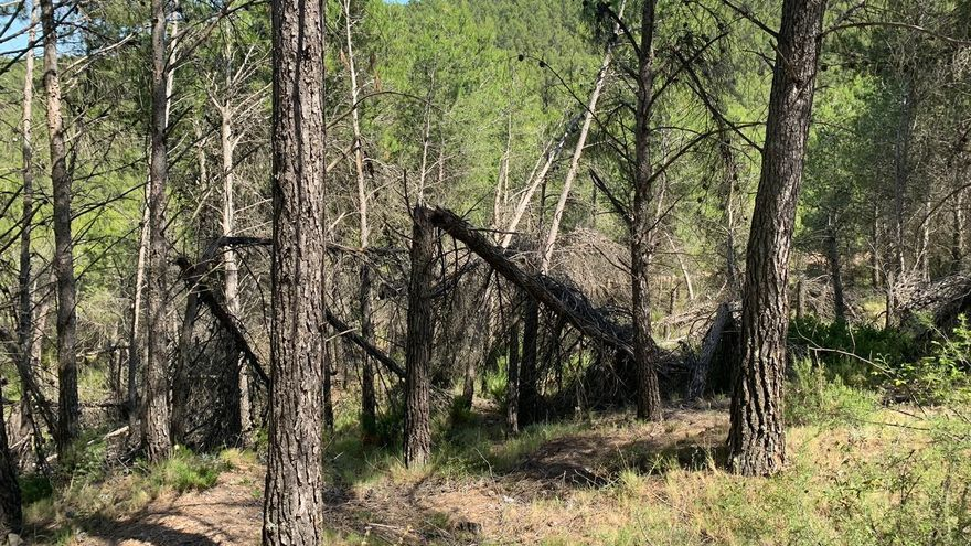 """Torás denuncia que su bosque sigue siendo """"un polvorín"""" y un cementerio de pinos tras cuatro años"""