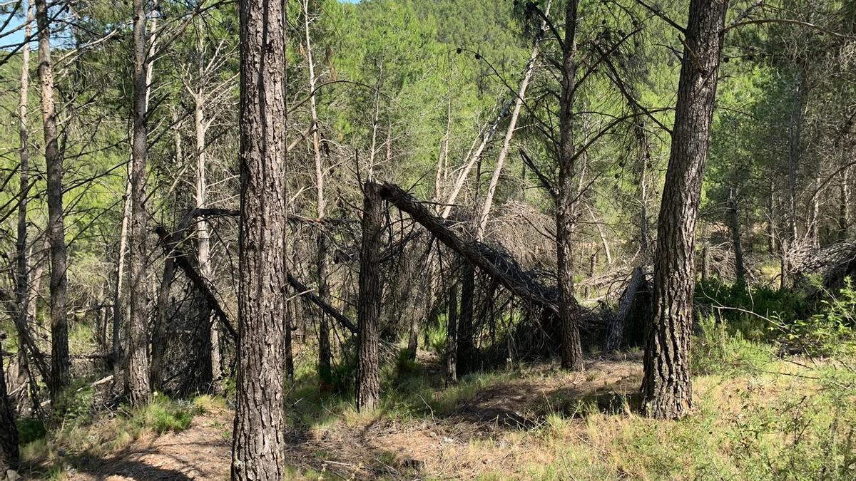 Los pinos caídos siguen amontonados en Torás desde que una nevada se los llevara por delante en enero del 2017.