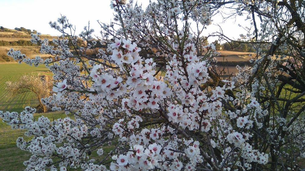 Florits. Ja arriba, ja és aquí! La primavera comença a deixar-se veure fent florir els ametllers amb aquestes flors tan boniques i aromàtiques.