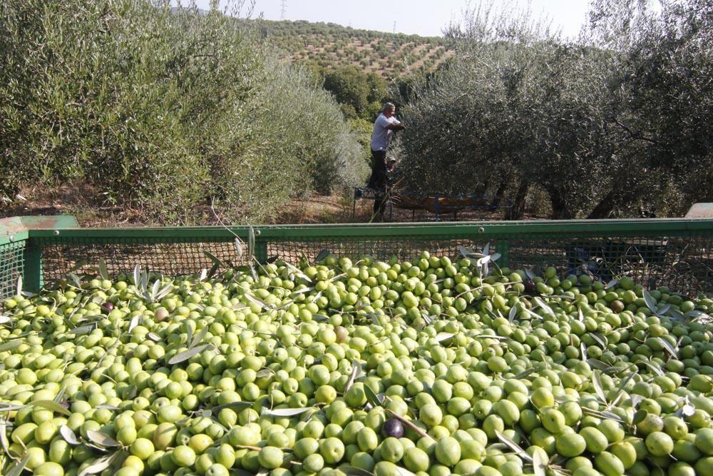 Inicio de la campaña de la aceituna en Córdoba