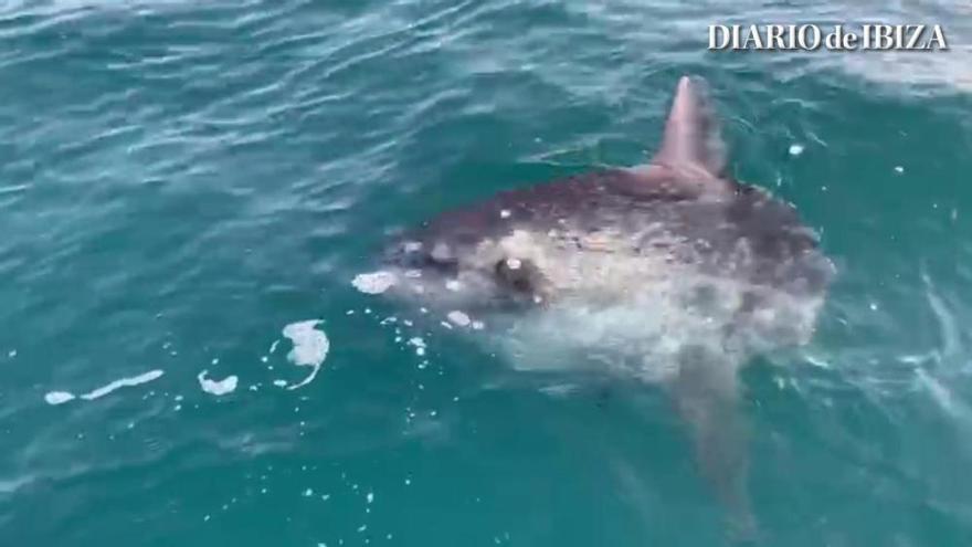 Graban a un pez luna desorientado por la tormenta en la costa de Ibiza