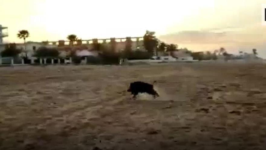 Un jabalí se da un chapuzón en una playa de Dénia