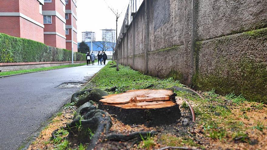 Seis árboles talados en la ronda Camilo José Cela