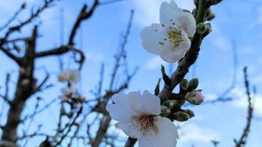 Almendros en flor en tiempos de pandemia
