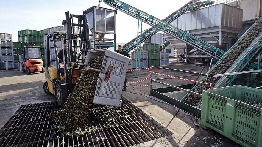 Los productores esperan duplicar este año la cosecha de la aceituna