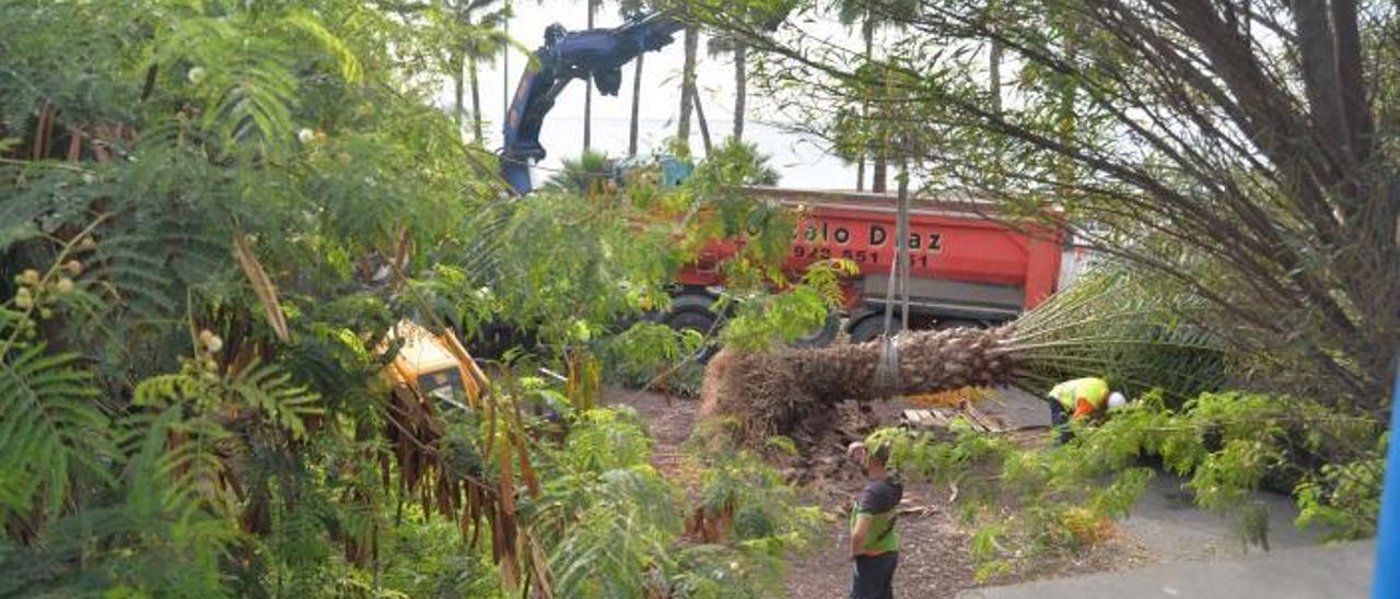 Traslado de palmeras canarias en la futura ubicación de la estación de la MetroGuagua en Hoya de la Plata. | | JOSÉ CARLOS GUERRA
