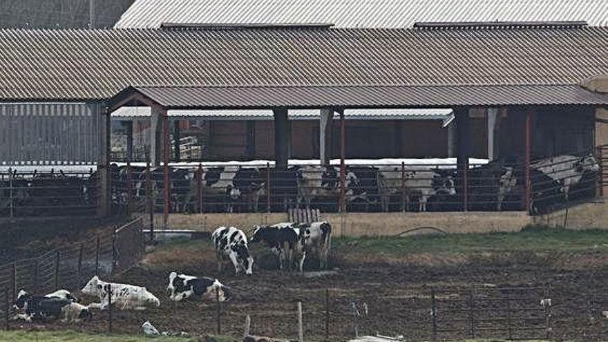 """La res con el mal de las vacas locas """"no presentaba síntomas"""", según el ganadero"""