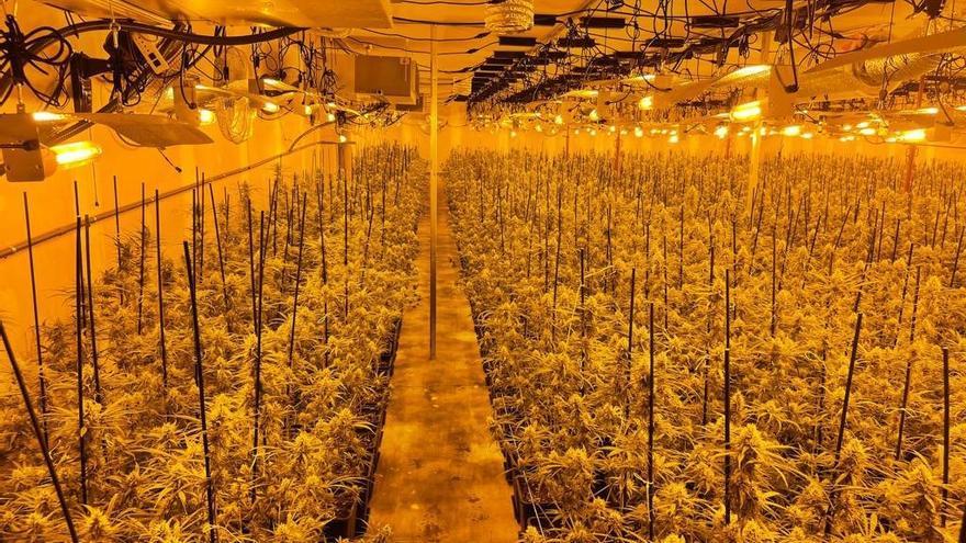 Troben 2.700 plantes de marihuana en una nau d'Abrera