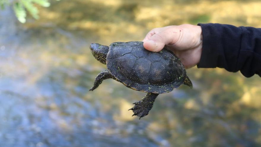 Sabies que al Ter s'està recuperant la població de tortugues?