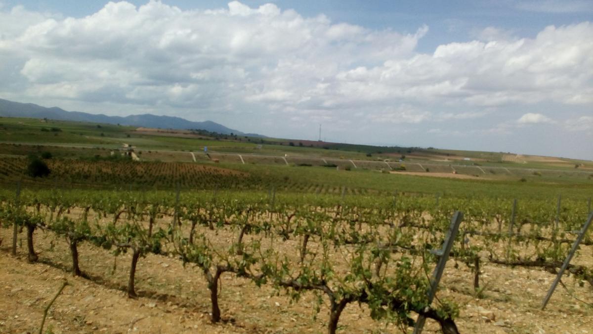 Así quedaron los viñedos de Bodegas Paniza tras la tormenta del martes