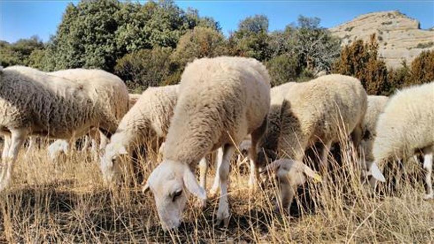 Condenado por dejar morir a 11 ovejas y dos vacas en una finca de Cáceres