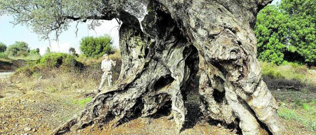 Un espectacular ejemplar de  olivo milenario. |  MEDITERRÁNEO