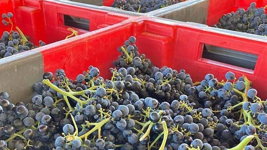 La DO Toro ya ha recolectado más de 5,6 millones de kilos de uva en esta vendimia