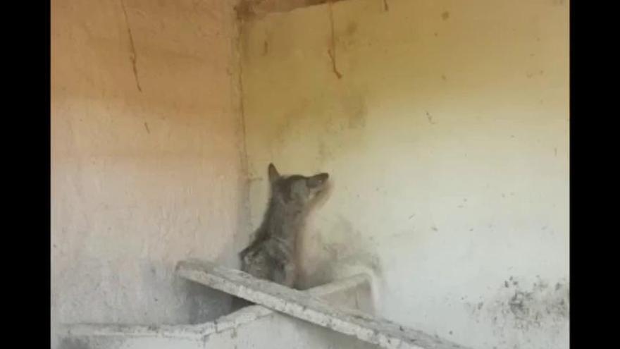 VÍDEO   Un lobito enfermo, atracción en Villanueva de Valrojo