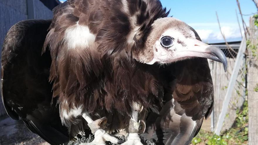 Buscan a un buitre perdido durante la exhibición de aves rapaces en Terra Natura
