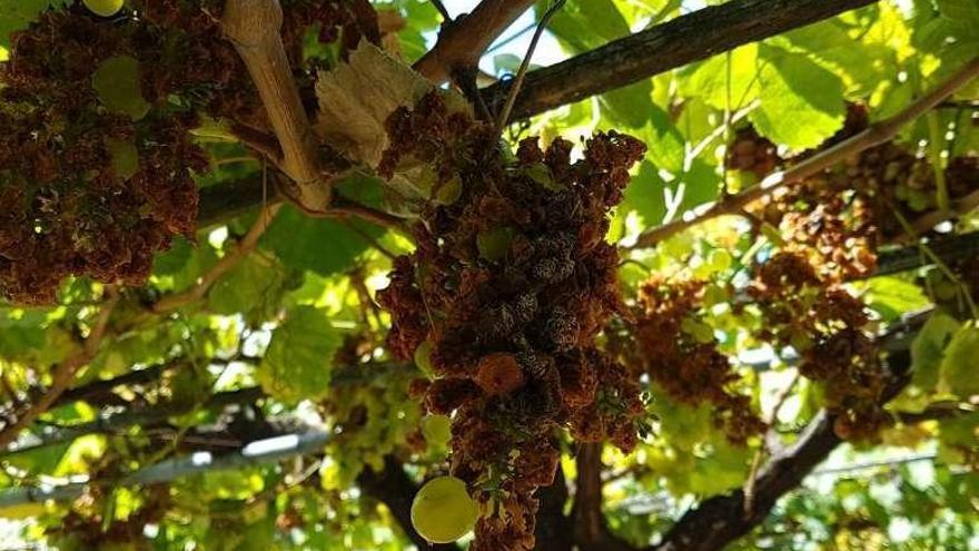 Las velutinas 'devoran' viñedos