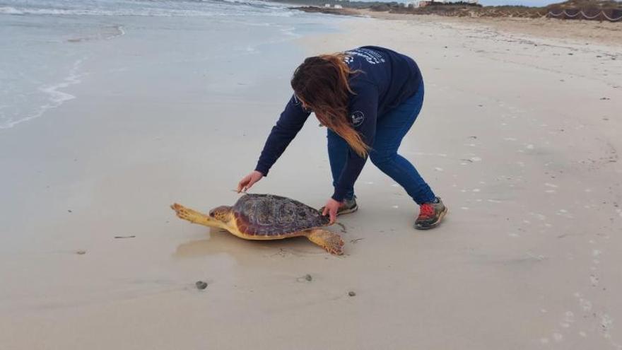 El 37% de las tortugas rescatadas el pasado año en Baleares estaban enganchadas en plásticos o redes