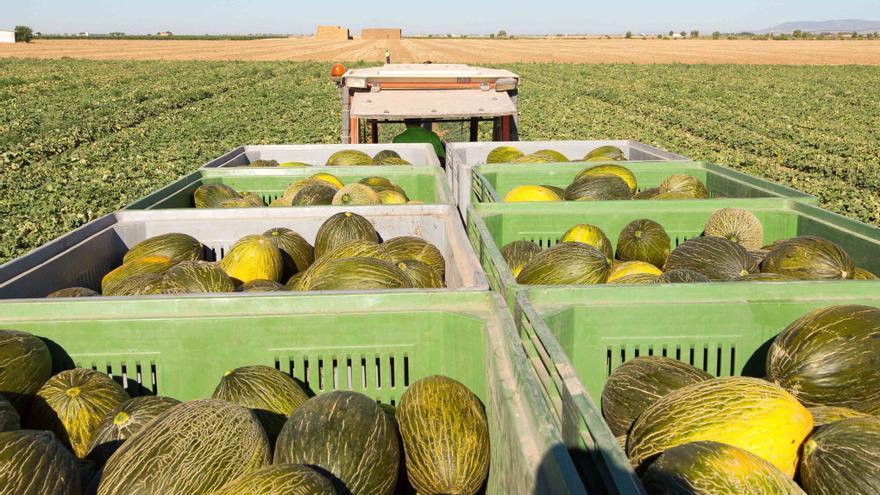 Mercadona prevé comprar 60.000 toneladas de melón piel de sapo a proveedores locales
